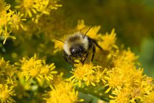 Free Golden Northern Bumblebee Royalty Free Stock Image - 9696916