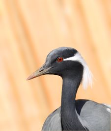 Free Big Grey Crane. Royalty Free Stock Images - 9697089