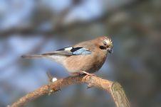 Free Big Blue Jay Stock Photo - 9697100