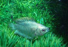 Free Fish Ljalius Blue Colisa Lalia Stock Image - 9697321
