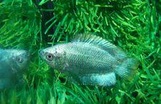 Free Fish Ljalius Blue Colisa Lalia Stock Images - 9697334