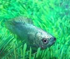 Free Fish Ljalius Blue Colisa Lalia Royalty Free Stock Photos - 9697348