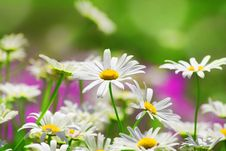 Free White Daisies Stock Photography - 9697682