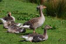 Free Geese Royalty Free Stock Photography - 9697907