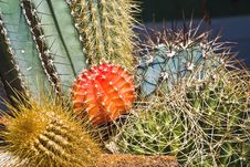 Free Cactuses Royalty Free Stock Photos - 9698188
