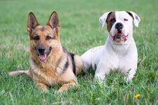 Free Germany Shepherd And American Bulldog Stock Photo - 9698670