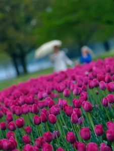 Free Spring Tulips Stock Photos - 9698683