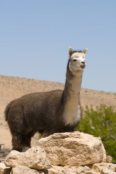 Free Adult Alpaca Male Stock Photography - 9699042