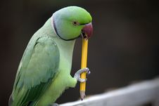 Free Parrot Chewing Pencil Stock Images - 9699794