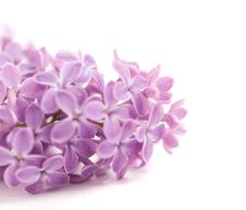 Free Fragrant Lilac Blossoms Royalty Free Stock Image - 9699936