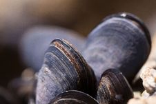 Free Clam, Mussel, Cockle, Clams Oysters Mussels And Scallops Royalty Free Stock Images - 96919839