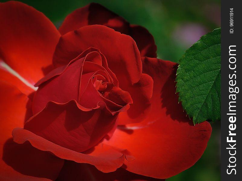 Red, Rose, Flower, Rose Family