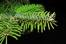 Free Pine Family, Plant, Spruce, Conifer Stock Photo - 96920040