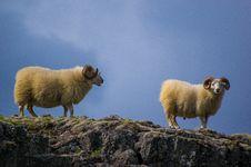 Free Sheeps Stock Photo - 96933440
