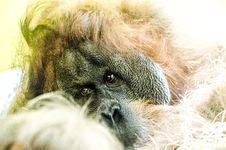 Free Orang Utan Monkey Royalty Free Stock Image - 96933886
