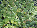 Free Lily Pads Royalty Free Stock Image - 972506