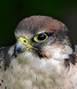 Free Bird Of Prey Stock Photos - 973693