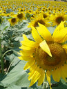 Free Sunflower Close Up 5 Royalty Free Stock Image - 978316