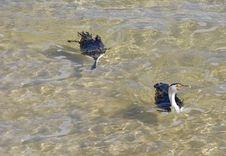 Free Cormorants Stock Photos - 970293