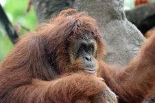 Free Portrait Of Orangutan Royalty Free Stock Photos - 971038