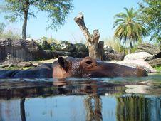 Free Hippo Swimming 2 Stock Photos - 971383
