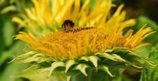 Free Sun Flower Closeup Stock Images - 971554
