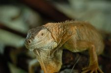 Free Iguana Stock Photography - 971702