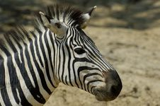 Free Zebra Royalty Free Stock Photography - 971707