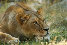 Free Lion Resting Stock Photography - 971712