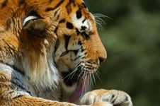Free Tiger Licking Paw Royalty Free Stock Image - 971726
