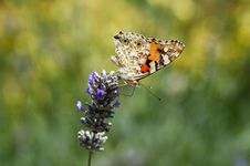 Free Butterfly Royalty Free Stock Image - 971766