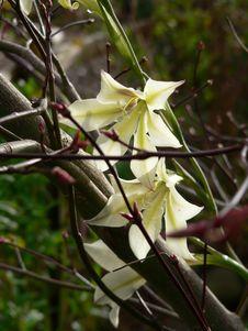 Free Winter Gladiolus Royalty Free Stock Image - 971956