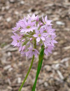 Free Allium Flowers Royalty Free Stock Images - 971989