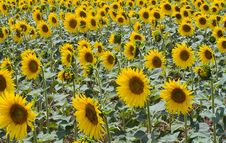 Free Sunflower Royalty Free Stock Images - 972019