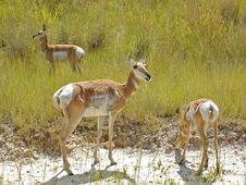 Free Female And Two Young Antelope Stock Photography - 972062