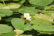 Free Water Lily, Lotus Royalty Free Stock Photo - 972145