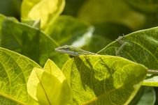 Free Green Gecko Stock Photo - 972170