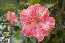Free Hibiscus Flower Stock Photos - 972213
