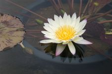 Free Beautiful Water Lily Stock Image - 972261