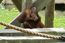Young Orangutan Royalty Free Stock Photography