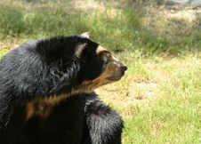 Free Spectacled Bear Looking Side Stock Images - 972914