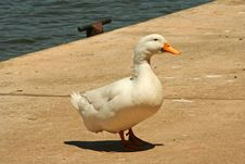 Free White Duck By The Dock Royalty Free Stock Photo - 972985