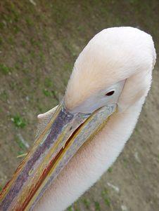 Free Pelican Stock Photography - 973172