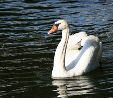 Free Swan Royalty Free Stock Image - 973266