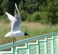 Free Gull Stock Photo - 973270