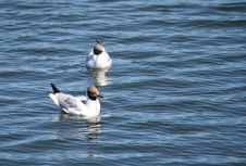 Free Gulls Stock Photo - 973280
