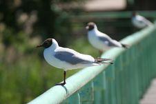 Free Gulls Stock Photography - 973282