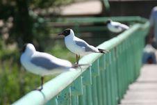Free Gulls Stock Photo - 973290