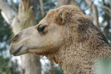 Free Camel Royalty Free Stock Image - 973376