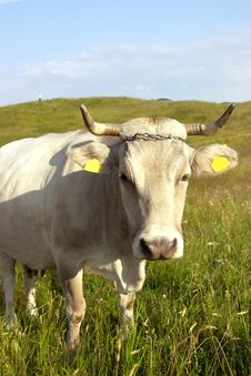 Free White Cow Close-up Royalty Free Stock Photo - 973485